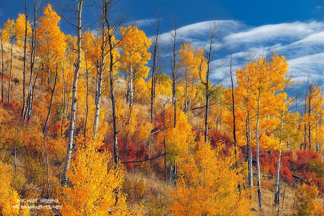 Aspen_trees_silverthorne_colorado